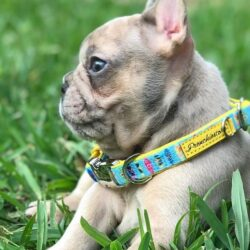 What are the common diseases for a French bull dog?